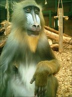 Mandrill at Chester Zoo (Image: Riccardo Pansini)
