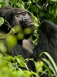 Silverback mountain gorilla