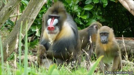 Mandrills at Chester Zoo (Image: Sonya Hill/ Chester Zoo)