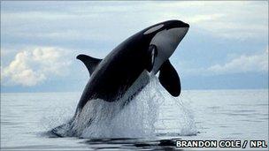 Orca (image: Brandon Cole / NPL)