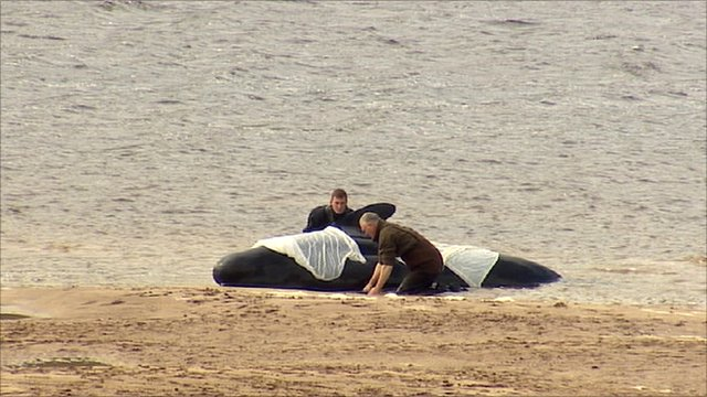whale beached on sands