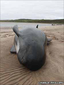 one of the dead whales on the beach