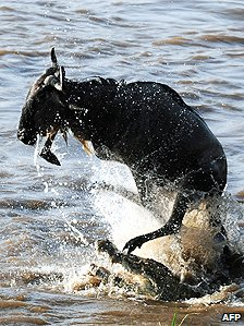 Wildebeest tries to fend off crocodile attack