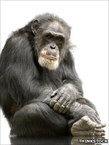 Older chimp (Credit: Thinkstock)