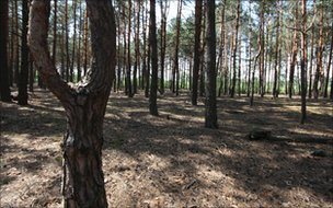 A pine forest in the Chernobyl exclusion zone