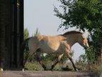A przewalski's horse in the Chernobyl exclusion zone (Image: Zbyszek Boratynski)