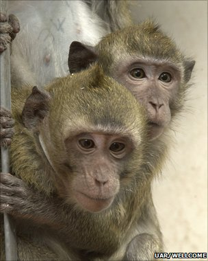 Macaques (UAR/Wellcome Trust)