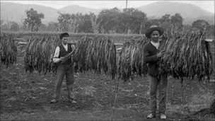 Chinese workers harvesting tobacco, early 1900s, probably New South Wales