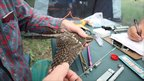 A nightjar being examined by scientists in the Chernobyl exclusion zone