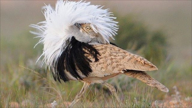 Displaying male houbara bustard (Image: Yves Hingrat)