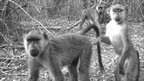 Yellow baboon group captured on a camera trap in Kenya (Image: ZSL)