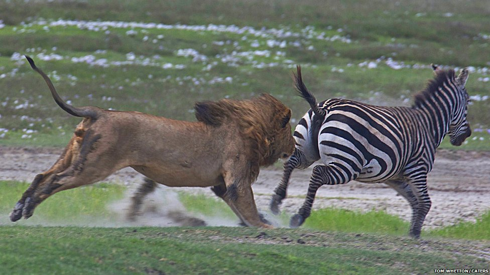 zebras and lions -#main