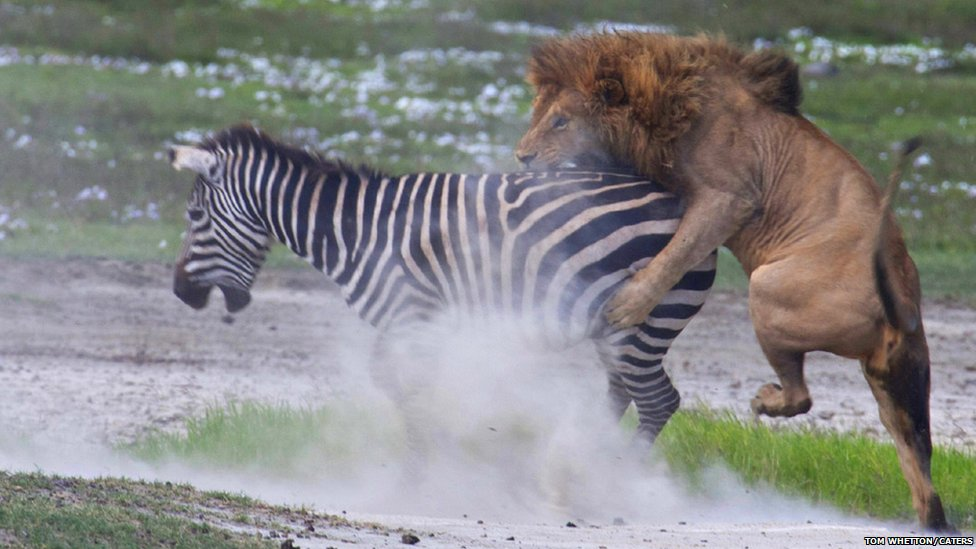 zebras and lions - photo #14