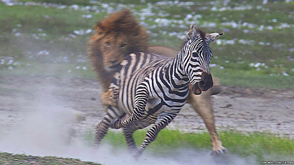 zebras and lions - photo #10