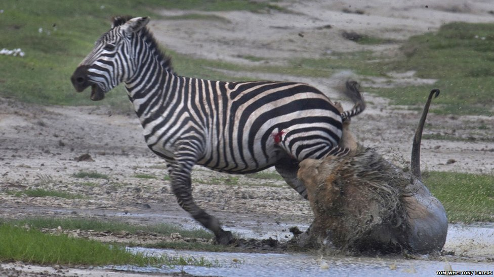 zebras and lions - photo #30