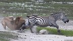 Lion trys to attack a zebra