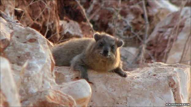 A hyrax in one of Galillee's many boulder piles (Image: Arik Kershenbaum)