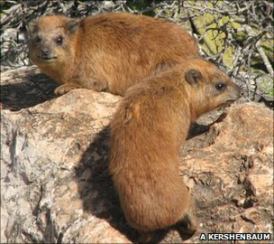 Hyraxes on one of Galillee's many boulder piles (Image: Arik Kershenbaum)