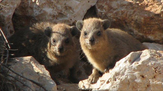 Hyraxes in Galilee (Image: Arik Kershenbaum)