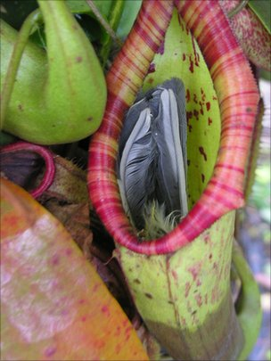 Killer plant  eats  great tit at Somerset nurseryPitcher Plant Eating Man