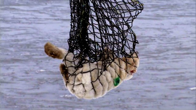 Polar bear being airlifted out of Manitoba, Canada
