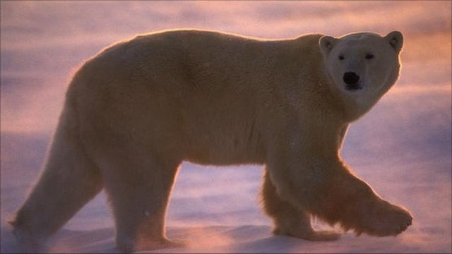 Polar bear (image: Tom Mangelsen / NPL)