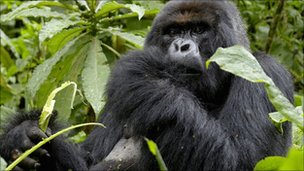 Mountain gorilla in Volcanoes National Park