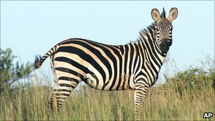 Zebra in Akagera National Park, Rwanda