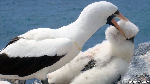 Nazca booby attacks chick