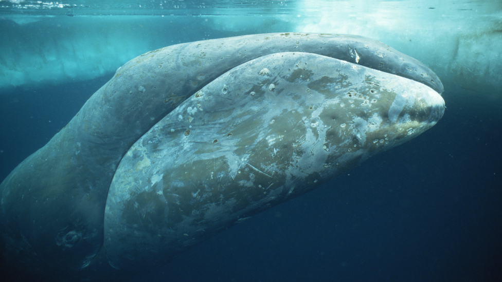 Fattest Animal In The World Bowhead whales are the fattest Fattest Animal In The World
