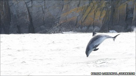 A bottle-nosed dolphin in Cardigan Bay Photo: Katrin Lohrengel /SeaWatch