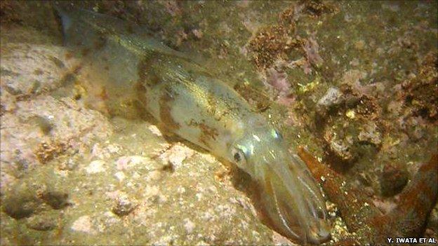 Spear squid (image: Y. Iwata et al)