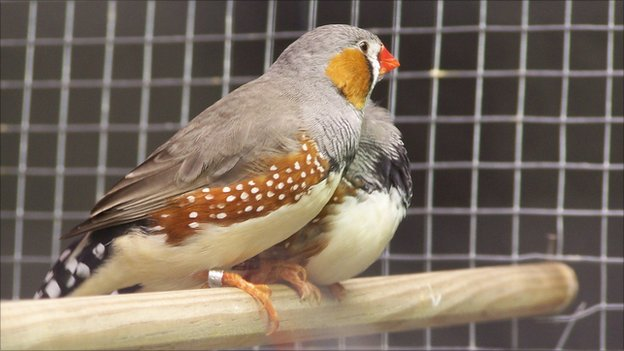Two bonded male zebra finches (Image: Julie Elie)
