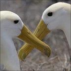 Albatrosses (Image: Brandon Cole/NPL)