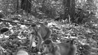 Southern pig-tailed macaques (c) TEAM Network