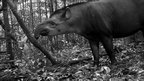 South American tapir (c) TEAM Network