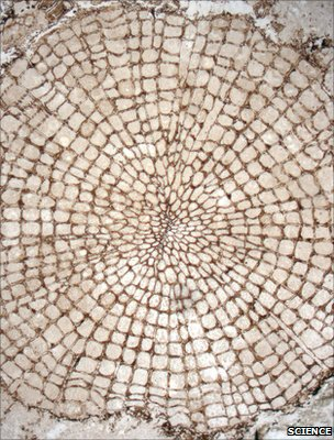 Transverse section of an Early Devonian plant with a small amount of wood (Image: Science/AAAS)