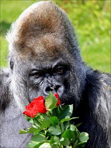 Nico Longleat's western lowland gorilla