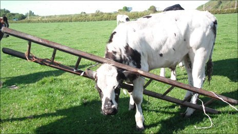Bullock with head in ladder