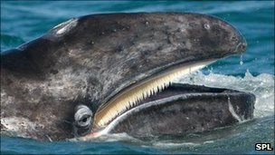 Grey whale (Image: Science Photo Library)