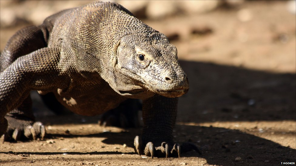 BBC Nature - In Pictures: Inside a komodo dragon head