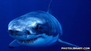 Great white shark (image: photolibrary.com)