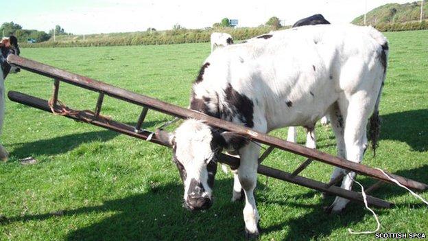 Bullock with head stuck in ladder