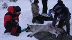 Tagging wolf (Credit: Guillaume Chapron/Grimso)