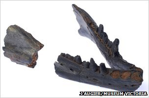 Fossil jaw of the 25 million-year-old whale Janjucetus hunderi (Image: Erich Fitzgerald)