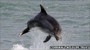 Bottlenose dolphin. Pic: Cornwall Wildlife Trust