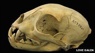 Iberian lynx skull