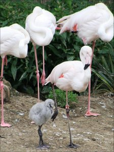 Flamingo chick with adult birds