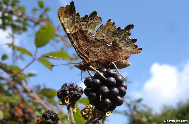 Comma butterfly (Credit: Martin Warren)
