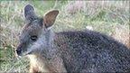 Tammar wallaby
